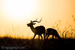 Impala at sunrise_D4N_2765