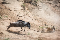 wildebeest jump to death_IWG4360