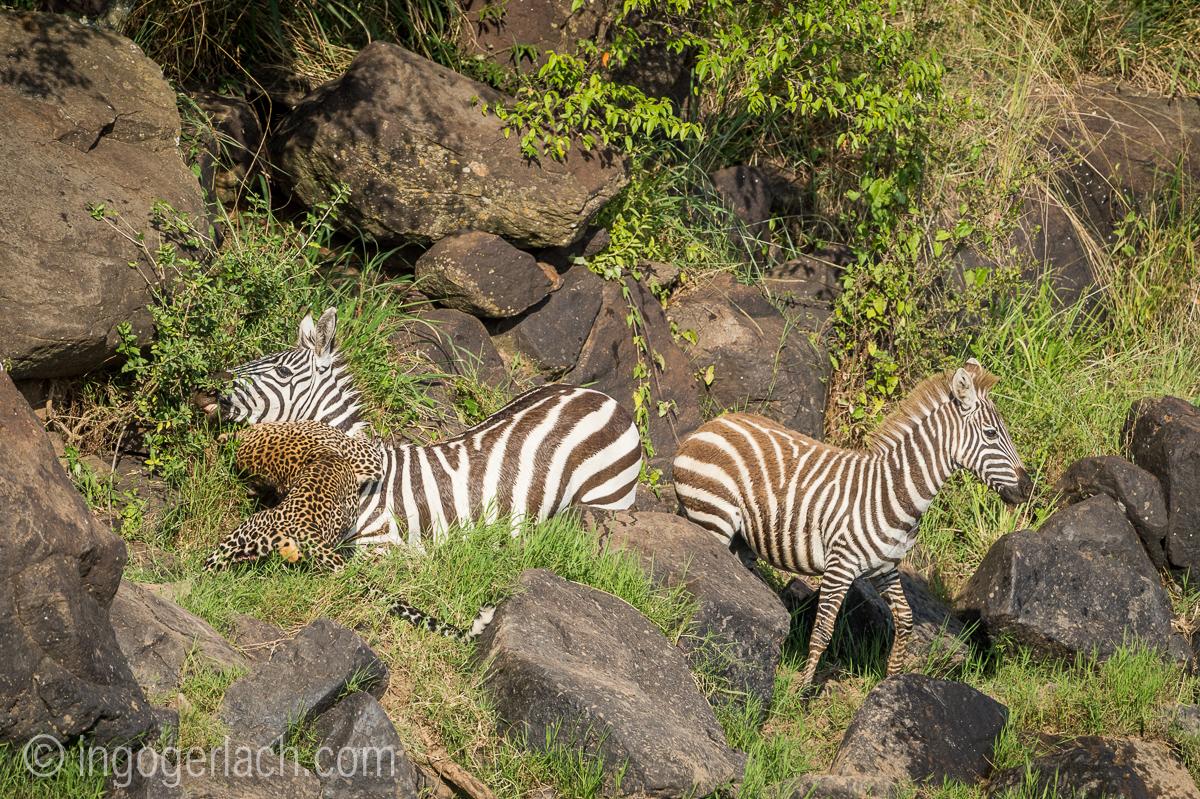 Leopard_Krokodil_Zebra_D4N_4407
