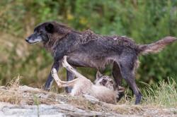 Timberwolf und Grauwolf_IGB8070
