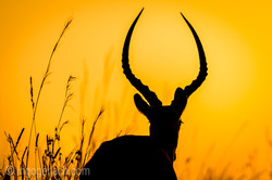 Impala at sunrise_D4N_2697