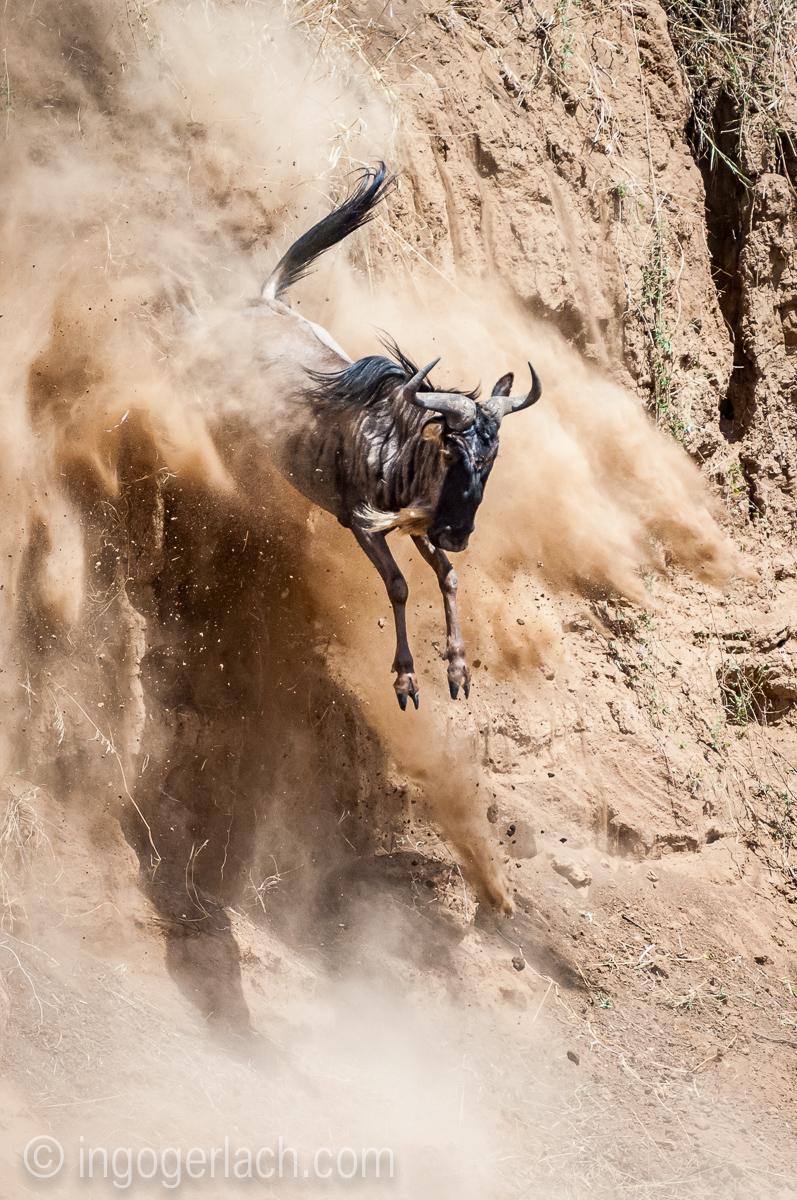 Gnu | Wildebeest_IWG4403
