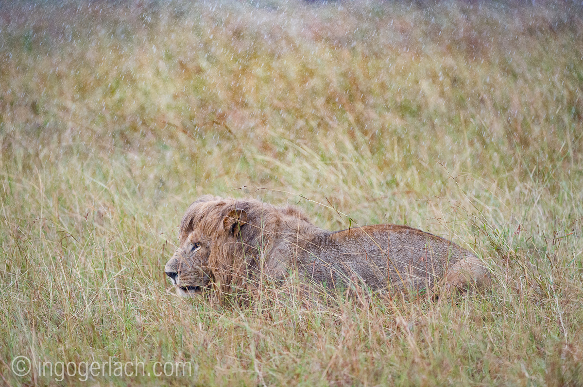 Löwen: Kampf der Giganten_D3S3936