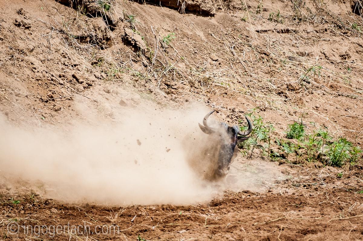 Gnu | Wildebeest_IWG4398