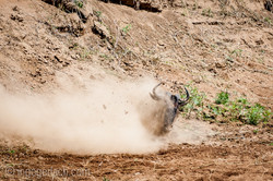 Gnu   Wildebeest_IWG4398