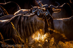 The great Migration_IGB1812
