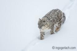 Schneeleopard_Snowleopard_D4N_6387