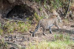 Mama Leopard mit ihren Babys_IG35743