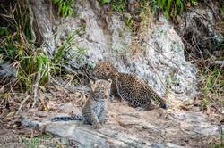 Mama Leopard mit ihren Babys_IG35783