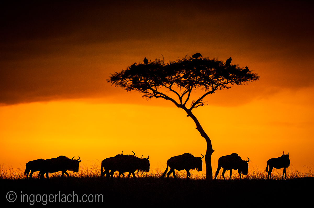The great Migration_IGB4715