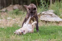 Timberwolf und Grauwolf_IGB8098