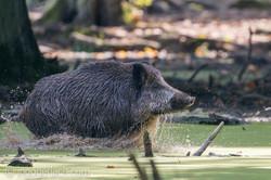 Wildschwein im Wasser_D8N2921