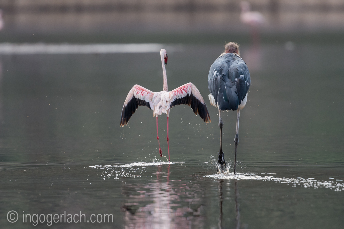 Marabu vs Flamingo_D722025