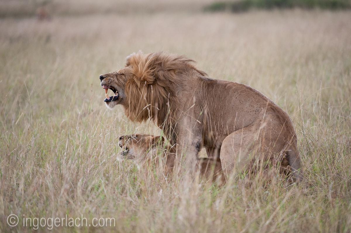 Löwen: Kampf der Giganten_IG37055