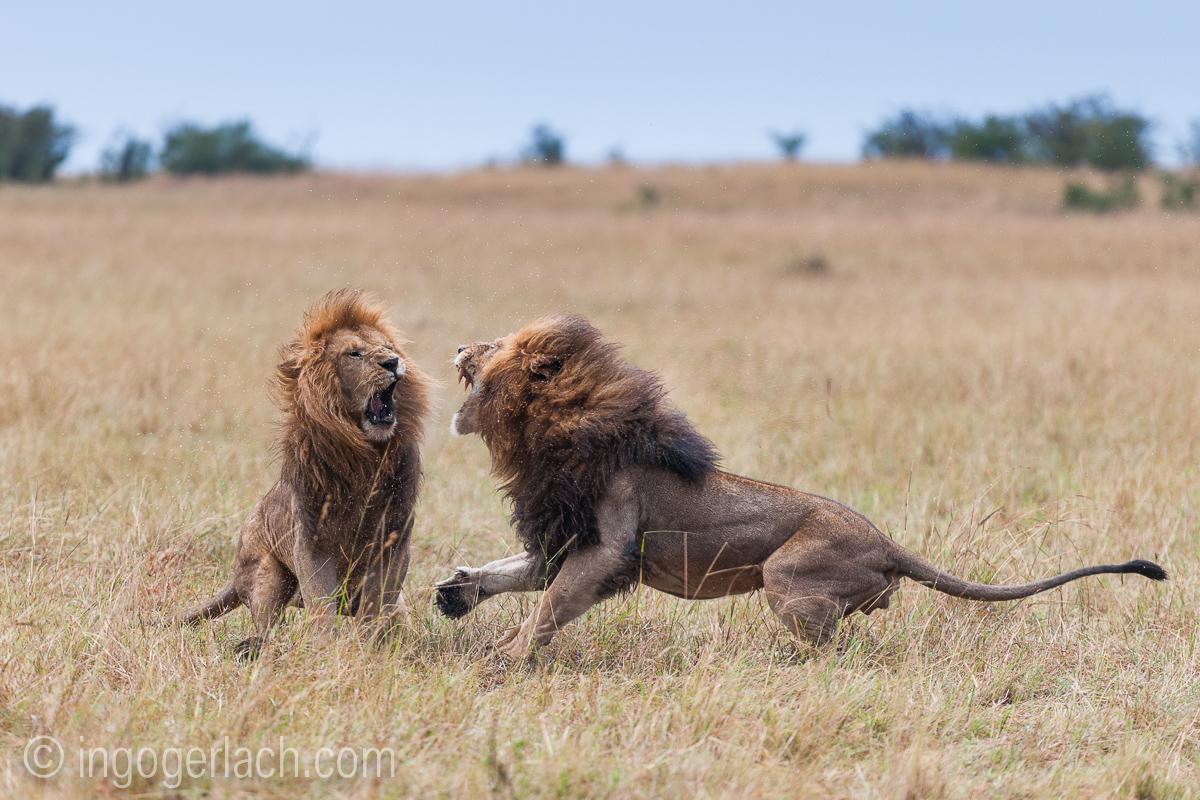 Löwen: Kampf der Giganten_D3X8138