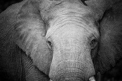 Elephant in black and white_IGB4838