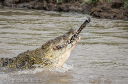 Krokodil frisst Zebra_D726833