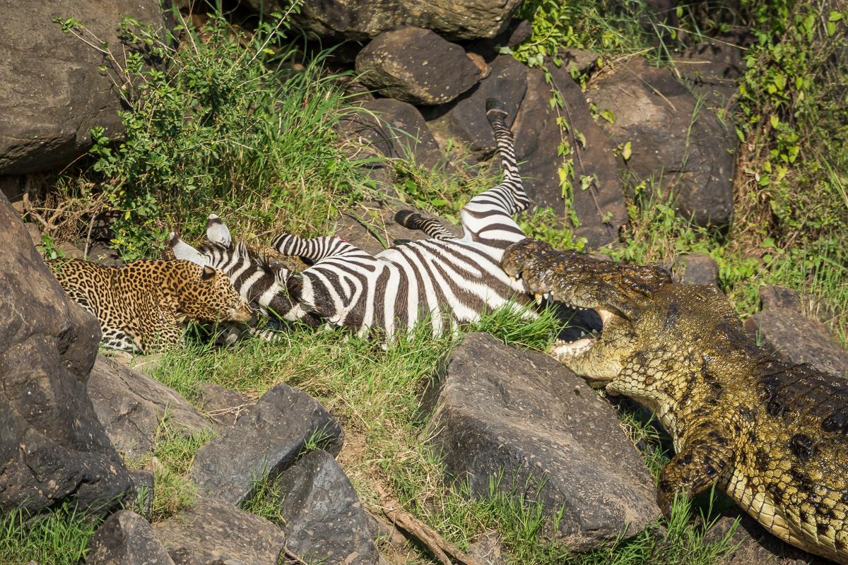 Zebra © Ingo Gerlach_D726187
