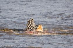 Krokodil killt Zebra__D725253