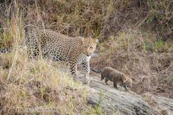 Mama Leopard mit ihren Babys_IG35702