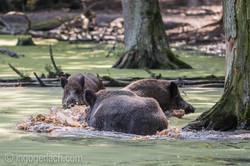 Wildschwein im Wasser_D4N7799