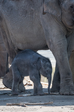 Baby_elephant_Zoo_Cologne_D50_2764