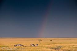 Over the Rainbow_Zebra_D4N_5202