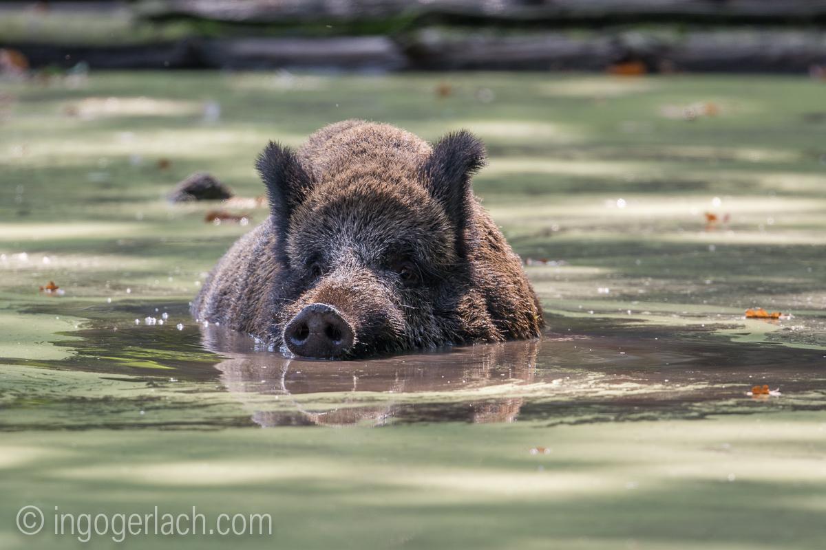 Wildschwein im Wasser-Bearbeitet-2