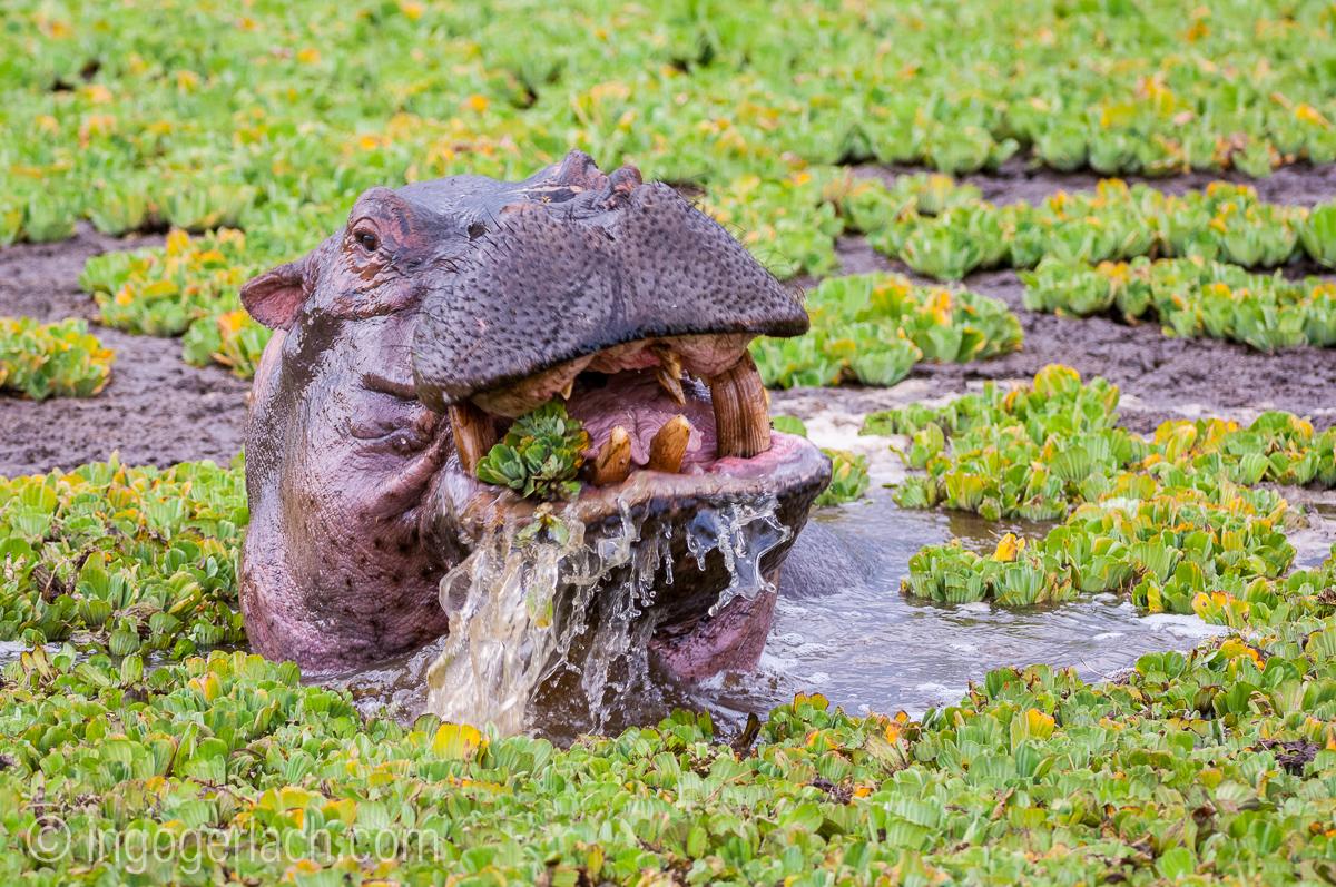 Flusspferd im Salat_IGB4565