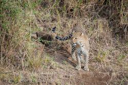 Mama Leopard mit ihren Babys_IG35662