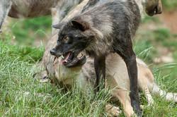 Timberwolf und Grauwolf_IGB8000