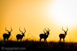 Impala at sunrise_D4N_2837