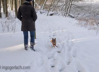 2-jähriger Labrador jagt Feldhasen...