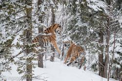 Sibirischer Tiger_IG34781