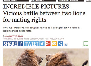 INCREDIBLE PICTURES: Vicious battle between two lions for mating rights...