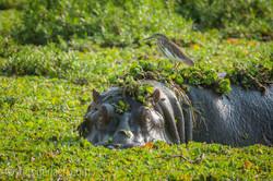 Flusspferd im Salat_IWG4518