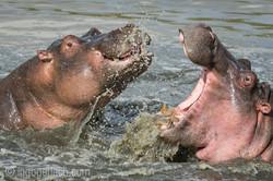 Hippos palavern_D3S7895