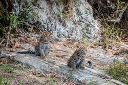 Mama Leopard mit ihren Babys_IG35777
