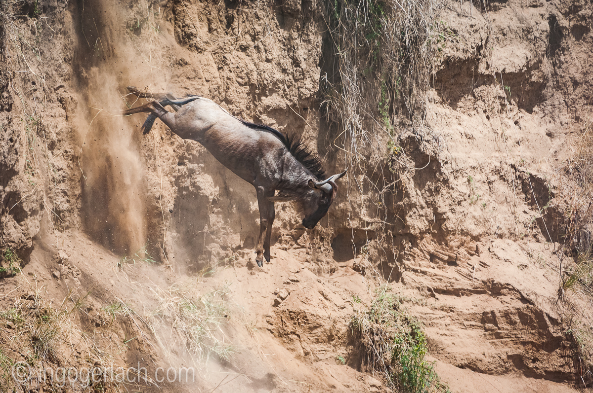wildebeest jump to death_IWG4372
