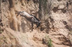 wildebeest jump to death_IWG4372