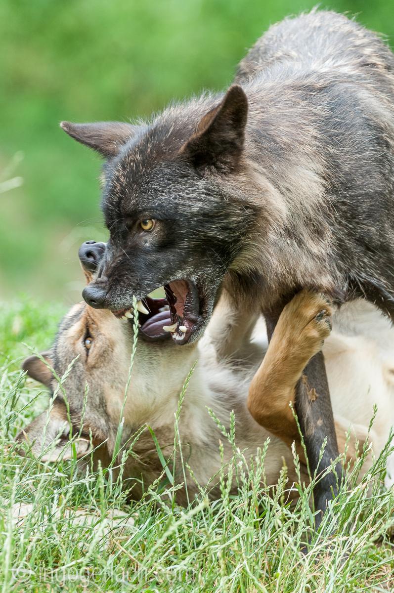 Timberwolf und Grauwolf_IGB8003