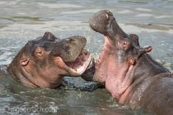 Hippos palavern_D3S7887