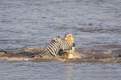 Krokodil killt Zebra__D725260