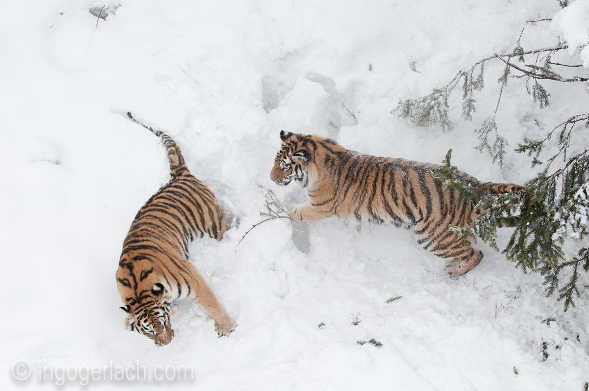 Sibirischer Tiger_IGB4190