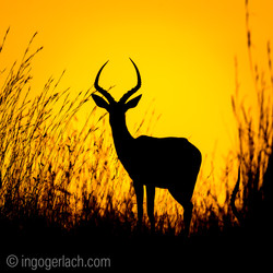 Impala at sunrise_D4N_2599
