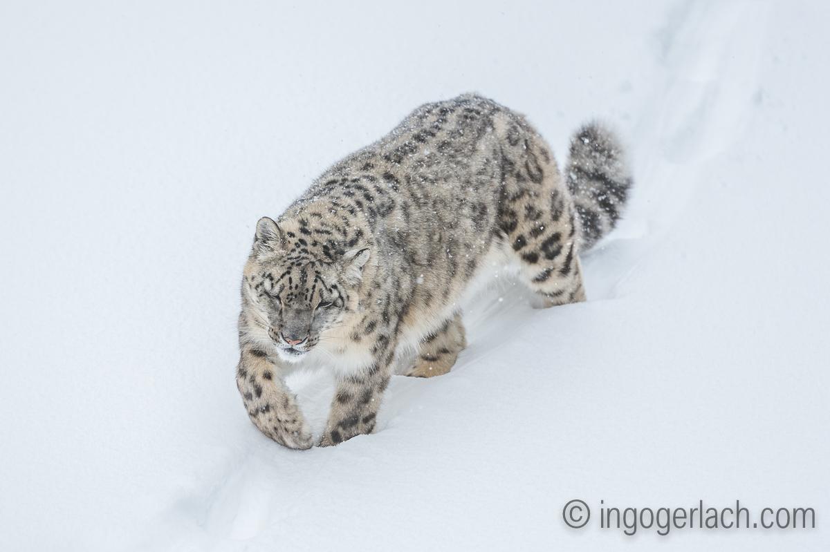 Schneeleopard_Snowleopard_D4N_6389