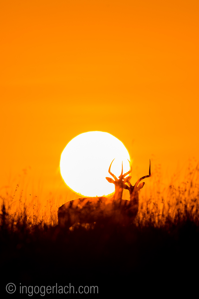 Impala at sunrise_D4N_2647