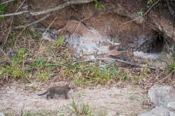 Mama Leopard mit ihren Babys_IG35866
