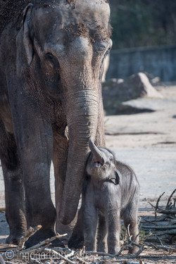 Baby_elephant_Zoo_Cologne_D50_2725