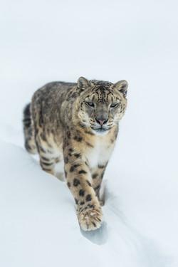 Schneeleopard © I. Gerlach_IG7_1390